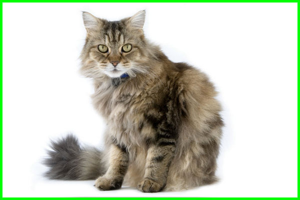 umur kucing ragamuffin, cara merawat kucing ragamuffin, harga kucing ragamuffin, beli kucing ragamuffin, jenis kucing ragamuffin, kucing ragamuffin harga, jual kucing ragamuffin
