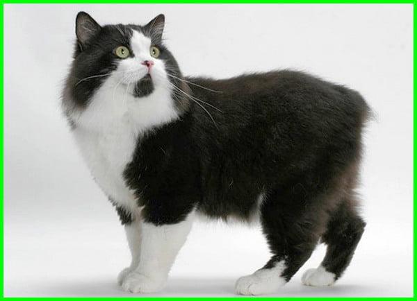 foto dan jenis kucing, jenis kucing gendut lucu, jenis-jenis kucing peliharaan lucu, macam jenis kucing lucu, jenis kucing lucu dan menggemaskan, jenis jenis kucing terlucu, jenis kucing paling imut, jenis kucing kecil lucu, jenis anak kucing lucu, jenis kucing paling lucu, jenis-jenis kucing lucu, jenis kucing unik, jenis kucing yang paling lucu, jenis kucing terkenal, foto jenis kucing paling lucu