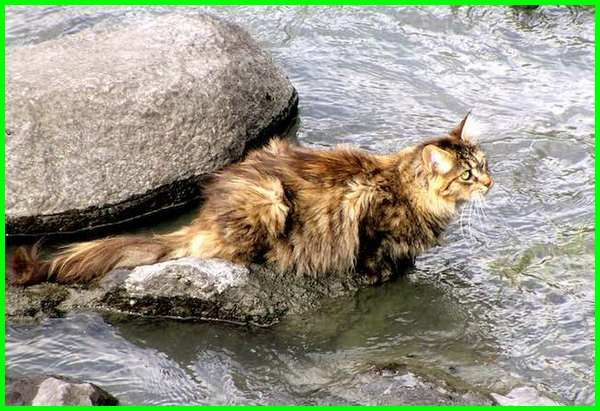 kucing yang bisa berenang, kucing berenang, kucing berenang banjir, kucing berenang saat banjir, kucing berenang adalah, kucing besar yang bisa berenang, kucing bisa berenang, jenis kucing yang bisa berenang, kucing berenang lucu, kucing pandai berenang