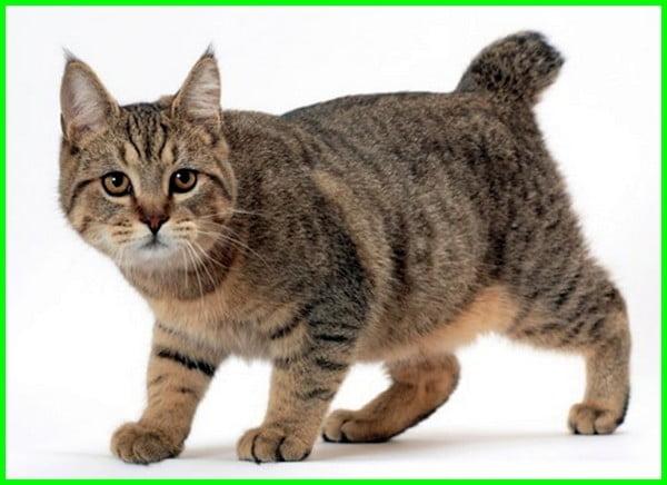 jenis kucing pixie bob, macam kucing pixie bob, kumpulan jenis kucing