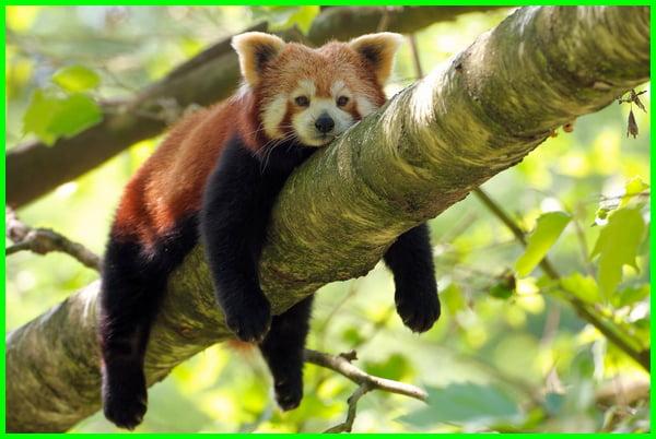 panda merah lucu, panda merah mod, panda merah adalah, apakah panda merah boleh dipelihara, aktivitas panda merah, panda merah dan beruang, panda merah dilindungi, harga panda merah di indonesia, fakta panda merah, filosofi panda merah, gambar panda merah, habitat panda merah
