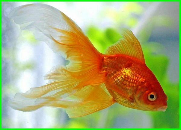 sejarah ikan koki, deskripsi ikan koki, asal usul ikan koki, macam ikan koki, jenis ikan koki