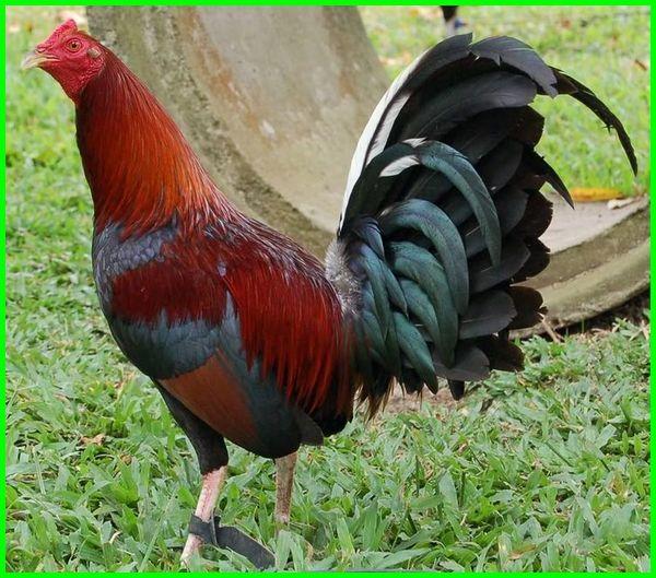 ayam aduan super ganas, doping ayam aduan import, ayam aduan yang bagus, ayam aduan yg bagus, ayam aduan pukul mati lawan, ayam aduan import, ayam aduan pukul ko, ayam aduan modern 2019, ayam aduan modern, ayam aduan yang paling ditakuti, ayam aduan yg paling bagus