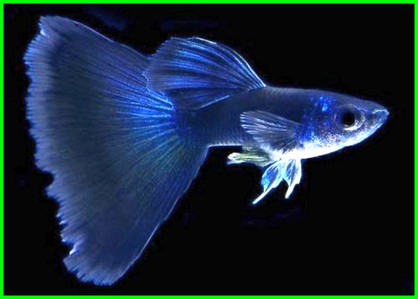ikan guppy termahal di malaysia, ikan guppy tercantik dan termahal, ikan guppy terindah, ikan guppy yang mahal, ikan guppy termahal di indonesia, harga ikan guppy termahal di dunia, ikan guppy terlaris, ph ikan guppy, ikan guppy yang paling mahal, jenis ikan guppy termahal dan tercantik
