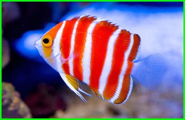 ikan hias air laut yang mahal, ikan hias air laut mahal, ikan hias air laut termahal di dunia, ikan hias air laut termahal, ikan laut paling mahal, ikan hias air asin termahal, 5 ikan hias air laut