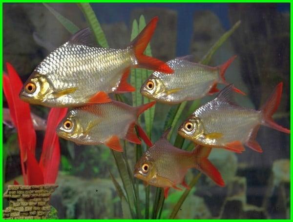 ikan hias besar air tawar, ikan hias yang bisa besar, ikan hias aquarium besar, ikan hias yang bisa tumbuh besar, ikan hias besar untuk aquarium, ikan hias ukuran besar, ikan hias yang besar, ikan hias yg bisa besar, ikan hias di akuarium besar