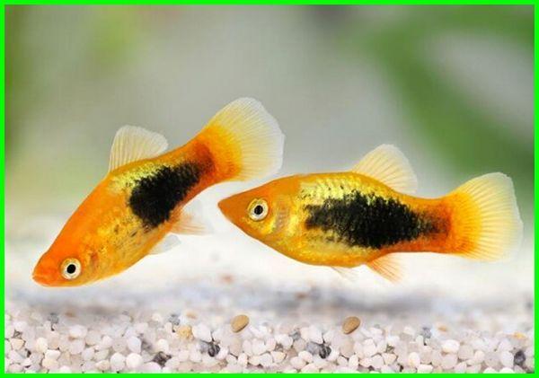 ikan hias yang melahirkan, ikan melahirkan, ikan melahirkan atau bertelur, jenis ikan yang melahirkan anak, ikan yang bisa melahirkan, ikan apa yang bisa melahirkan, contoh ikan yang melahirkan, jenis ikan hias yang melahirkan