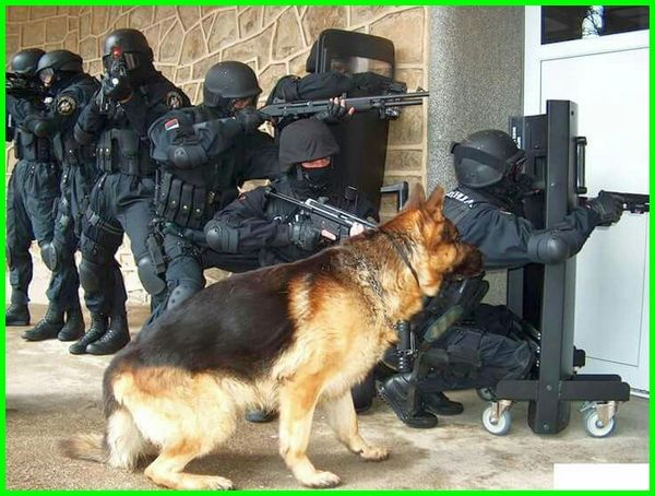 anjing herder polisi, anjing polisi indonesia, nama anjing polisi, harga anjing polisi, gambar anjing polisi, jenis anjing polisi indonesia, jenis anjing polisi terbaik, macam anjing polisi