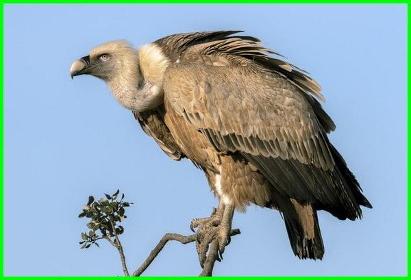 burung nazar, seperti burung nasar, burung nasar, seperti burung nasar, burung nazar terbesar, burung nasar adalah, apa yang dimaksud burung nasar, burung nasar