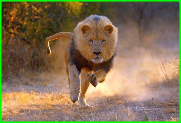 mimpi dikejar singa, mimpi melihat singa, arti mimpi dikejar singa, arti mimpi singa, mimpi digigit singa, arti mimpi melihat singa, mimpi bertemu singa, mimpi ketemu singa, arti mimpi digigit singa, mimpi singa masuk rumah, arti mimpi bertemu singa, tafsir mimpi singa