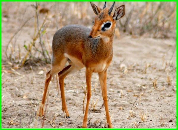 hewan huruf d, nama hewan huruf d, binatang huruf d, hewan huruf depannya d, apa nama hewan dari huruf d