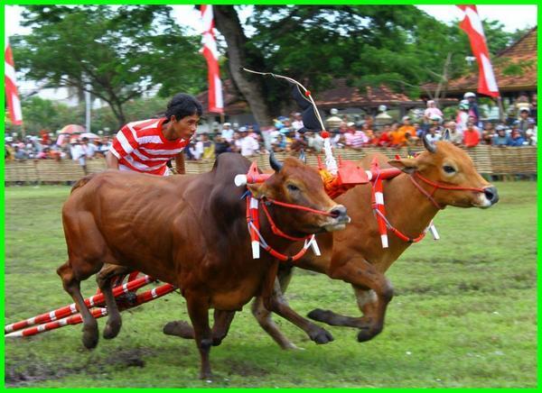 karapan sapi madura, karapan sapi berasal dari, karapan sapi berasal dari daerah, karapan sapi adalah kesenian yang terkenal di, karapan sapi merupakan kesenian tradisional yang berasal dari daerah, karapan sapi adalah tradisi dari daerah, foto karapan sapi, karapan sapi dari, gambar karapan sapi madura, karapan sapi berasal dari suku, karapan sapi dilaksanakan oleh masyarakat