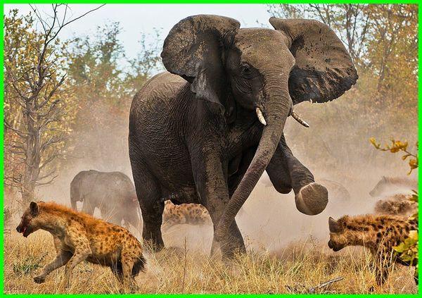mimpi dikejar gajah, mimpi melihat gajah, buku mimpi gajah, arti mimpi dikejar gajah, arti mimpi gajah, mimpi naik gajah, tafsir mimpi gajah, arti mimpi naik gajah, mimpi ketemu gajah, mimpi anak gajah, mimpi melihat gajah putih, tafsir mimpi dikejar gajah, arti mimpi melihat gajah terbang, mimpi dikejar gajah besar