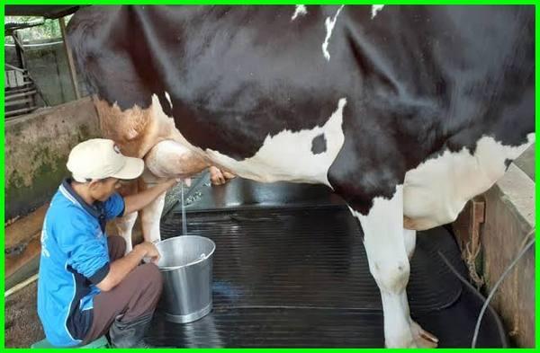 cara supaya sapi perah menghasilkan susu banyak, 1 sapi menghasilkan berapa liter susu, peternak sapi perah dapat menghasilkan susu yang berlimpah, sapi perah menghasilkan susu berapa liter, bagaimana sapi perah menghasilkan susu, cara agar sapi perah menghasilkan susu banyak