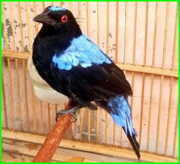 cucak biru gacor, burung cucak biru, cak biru gacor, cucak gadung gacor, suara burung cucak biru, harga cucak biru, cucak gadung, cak biru, suara cucak biru, harga burung cucak biru, cucak biru jantan, burung cucak biru gacor, burung cak biru, suara cucak biru jantan, suara burung cucak biru jantan