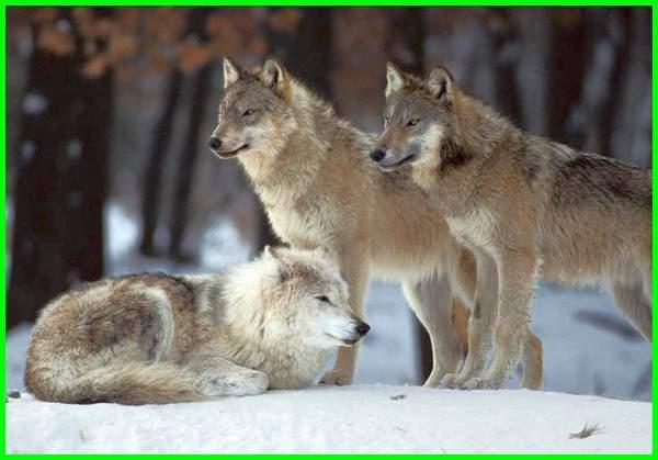 mimpi dikejar serigala, arti mimpi dikejar serigala, mimpi digigit serigala, mimpi melihat serigala, arti mimpi serigala, tafsir mimpi serigala, arti mimpi digigit serigala, tafsir mimpi dikejar serigala