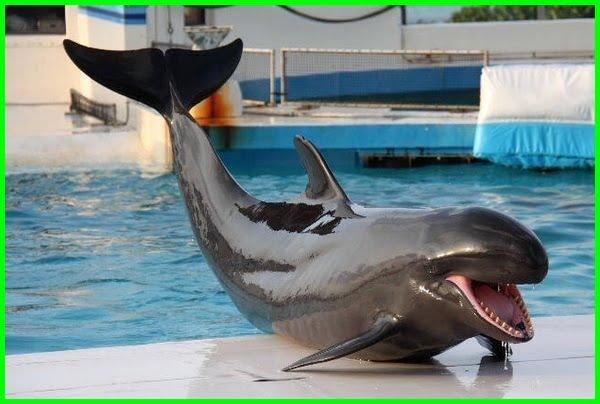 paus pembunuh, ikan paus pembunuh palsu, paus pembunuh palsu adalah, paus pembunuh palsu, false killer whale