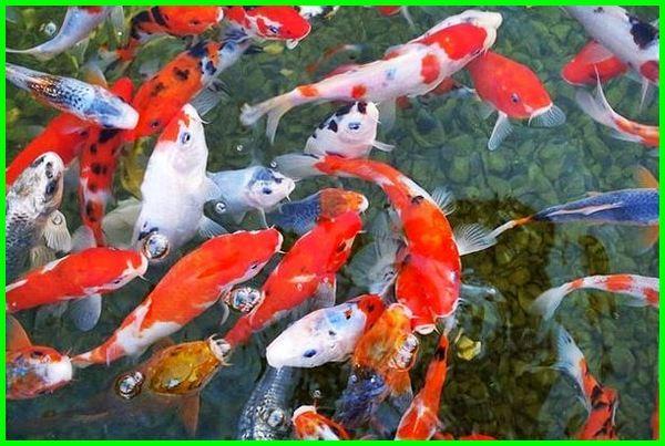 pemasaran ikan koi, cara memasarkan ikan koi, strategi pemasaran ikan koi, cara penjualan ikan koi, sistem pemasaran ikan koi, makalah pemasaran ikan koi, memasarkan ikan koi