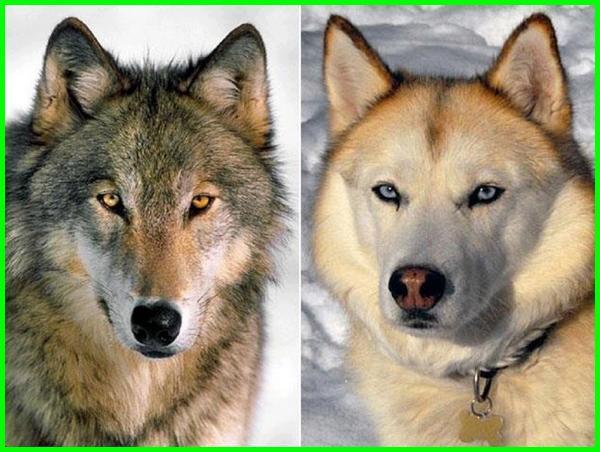 perbedaan anjing dan serigala, perbedaan serigala dan anjing, perbedaan anjing serigala, perbedaan anjing dan serigala adalah, apa beda anjing dan serigala, beda anjing dengan serigala, beda anjing serigala, beda anjing dengan serigala, apa beda anjing dan serigala, apakah perbedaan anjing dan serigala
