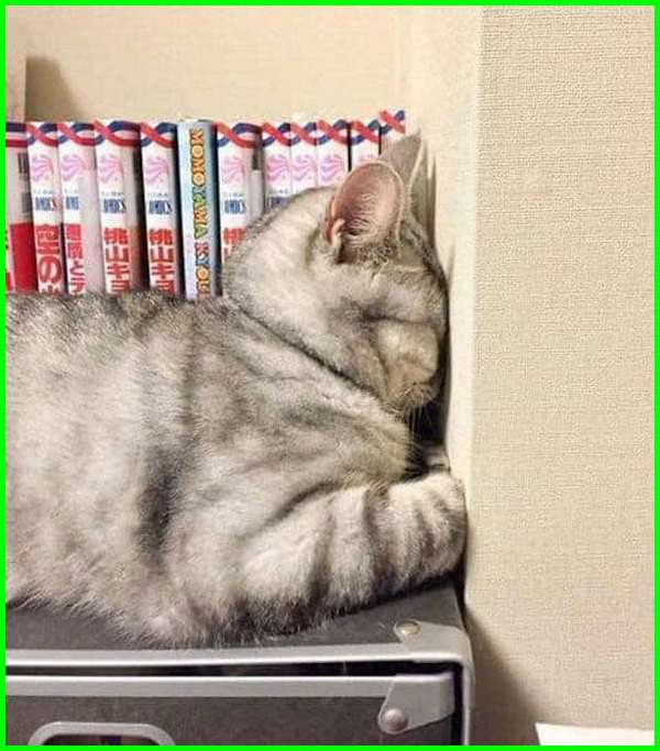 kucing persia tidur lucu, cats in funny positions, funny cat sleeping positions, cats sleeping in weird positions, cats sleeping in funny places, weird cat sleeping positions, cats sitting in weird places