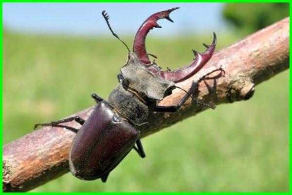 kumbang termahal, jenis kumbang tanduk termahal, harga kumbang tanduk termahal, harga kumbang termahal