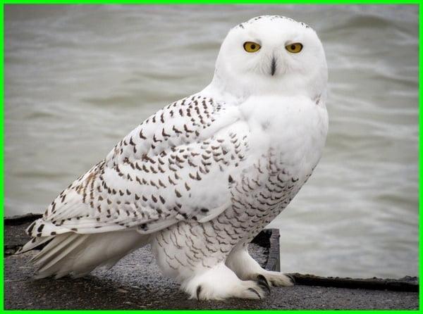 arti melihat burung hantu putih, arti suara burung hantu, art burung hantu, mimpi burung hantu, buku mimpi burung hantu, tafsir mimpi burung hantu, arti mimpi burung hantu, mimpi melihat burung hantu, arti melihat burung hantu, melihat burung hantu, mimpi menangkap burung hantu, mimpi dikejar burung hantu