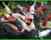 beli ikan koi, jual beli ikan koi, beli ikan koi online, beli ikan koi besar, cara beli ikan koi dari jepang, beli ikan koi import, beli ikan koi jepang, beli anakan ikan koi, beli ikan koi blitar murah, jual beli ikan koi, beli koi, beli ikan koi online, beli koi import, beli bibit ikan koi, pengepul ikan koi