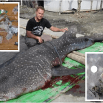 Dead whale shark found off Tagum City had stomach full of plastic