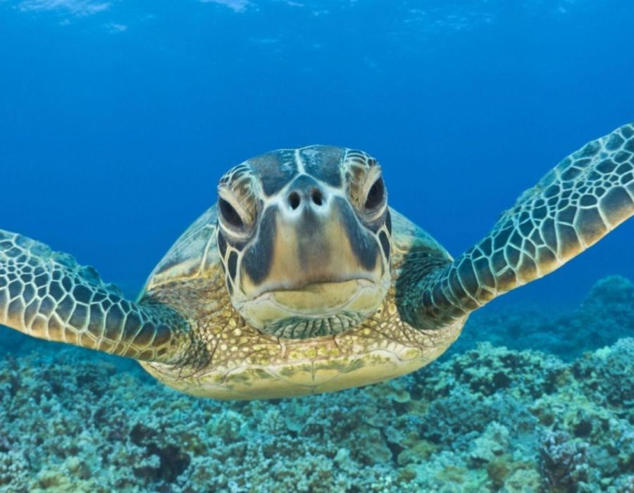 Swimming with turtles in Apo Island