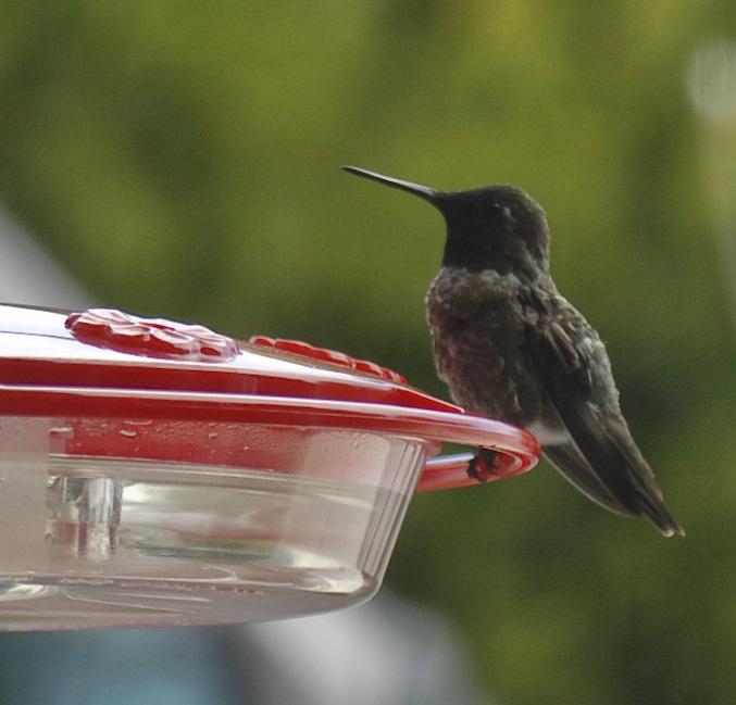 humming bird 2