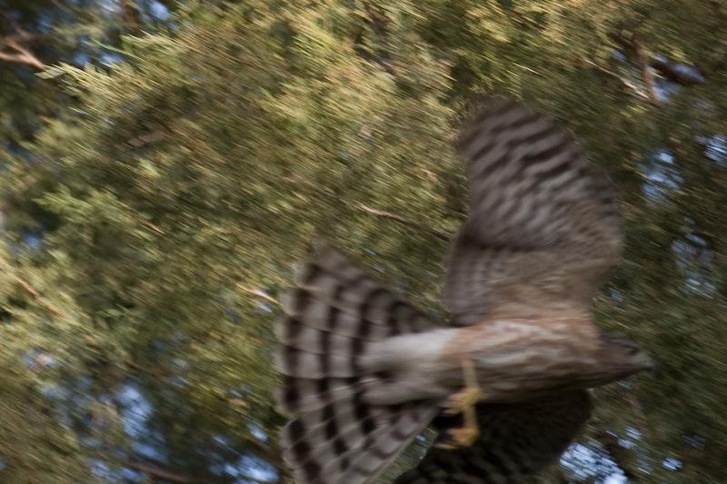 Cooper's Hawk 4