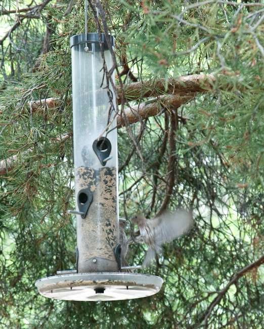 Birds Fighting At Feeder (look closely)