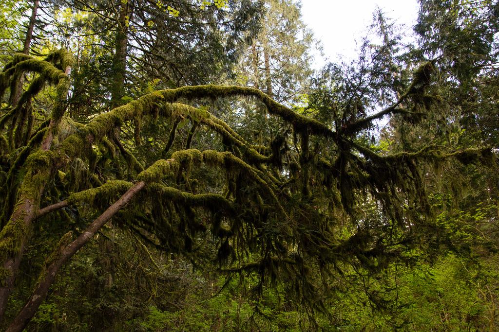 Mousse recouvrant les branches d'un arbre.