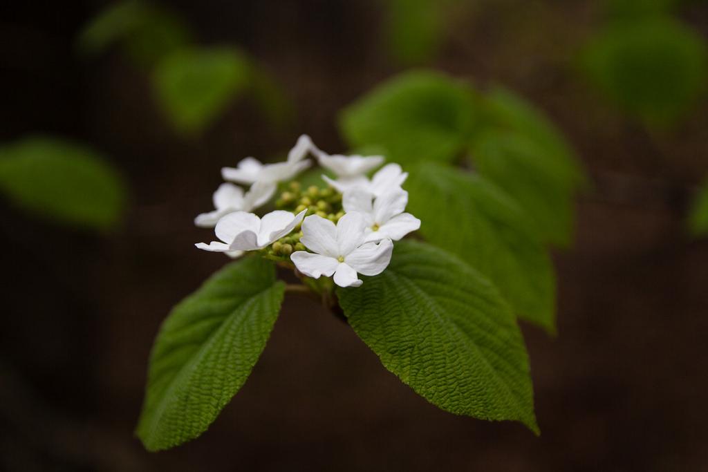 Fleurs blanches et bokeh.