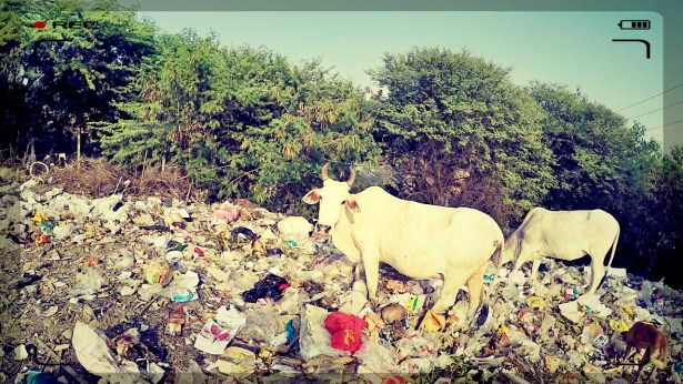 myanmar cow in rubbish, burmese cow, rubbish in mandalay, motorcycle through myanmar