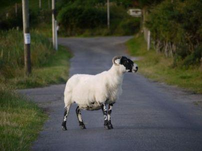 Arran - Lochranza Rush Hour