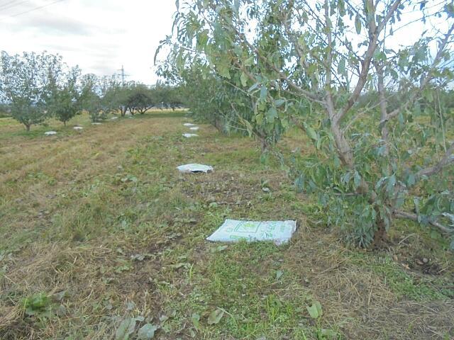 禮肥と呼んでいる,収穫後の秋の施肥。