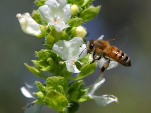 bees-and-basil-2