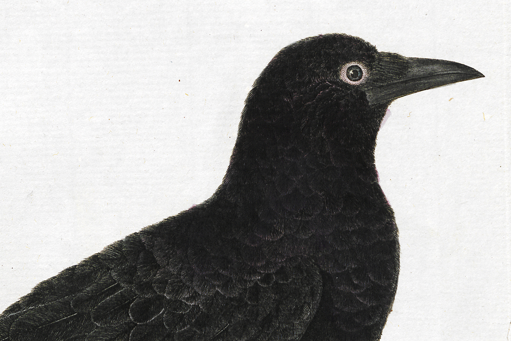 Crows are smarter than we thought