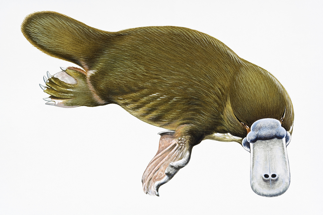the platypus is even