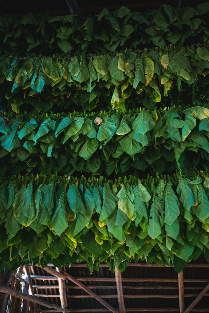 Air-curing tobacco