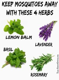 Herbs that keep Mosquitoes Away - Daily Appetite