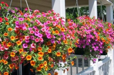 hanging basket of petunias