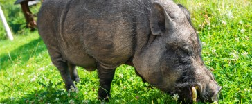 Image of a potbelly pig loose in a field (Photo: Shutterstock/Pavel Vakhrushev)