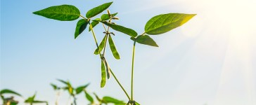 This is what a soybean plant looks like. (Photo: Shutterstock/Viacheslav Rubel)