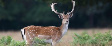 A fallow deer. [Shutterstock - Colin Edwards Wildside]