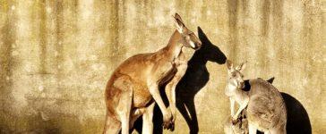 Kangaroos by a wall (Shutterstock/Markus Schmidt-Karaca)