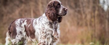 English springer spaniel (Photo: Shutterstock)