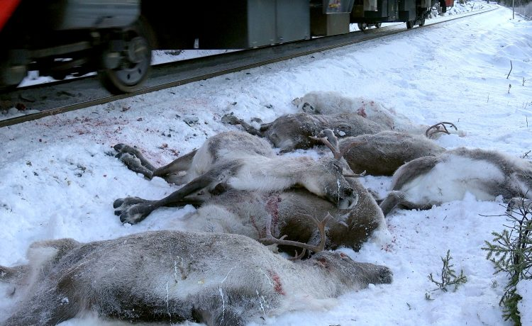More than 100 reindeers have been hit by trains and were killed in several incidents in the area the last days. / AFP PHOTO / NTB SCANPIX / John Erling Utsi (Photo credit should read JOHN ERLING UTSI/AFP/Getty Images)