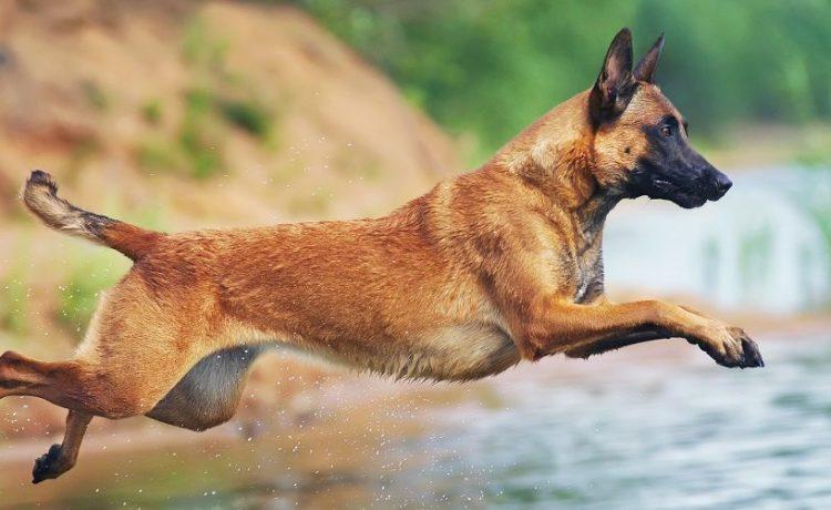 Belgian Malinois dog jumping into the water. Eudyptula/Shutterstock.